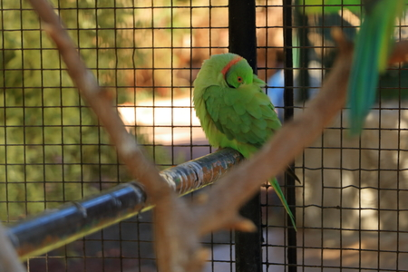 A Bright green parrot, Rose-ringed Parakeet, Psittacula krameri in a Cage, captivity