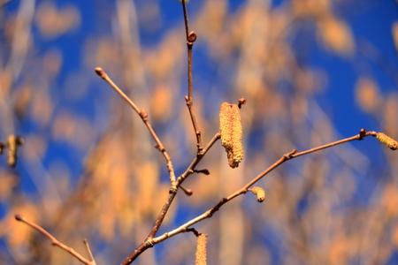 blossom of hazelnut tree against the blue sky
