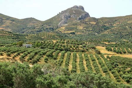 Olive plantations in Crete ,Greece, Europe