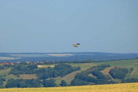 Common buzzard (Buteo buteo) flying in the air
