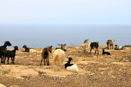 goats walk apart on a cliff facing the blue sea Stockfoto