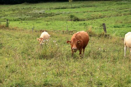 Cow grazing on lovely green pasture