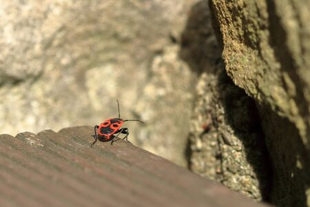 Red bug with black dots (firebug) on a wooden and sandstone background 版權商用圖片