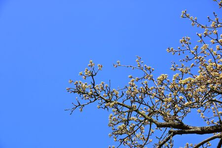 Pear tree branches with flowers against beautiful blue sky with clouds in the background. 版權商用圖片