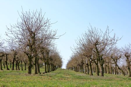 Cherry trees plantation in the spring time 스톡 콘텐츠