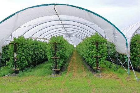 Growing raspberries in a greenhouse plantation Stock Photo