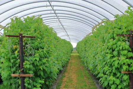 Growing raspberries in a greenhouse plantation