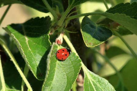 Ladybird in the garden, close up