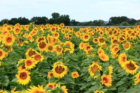 An endless field of yellow sunflowers Banco de Imagens
