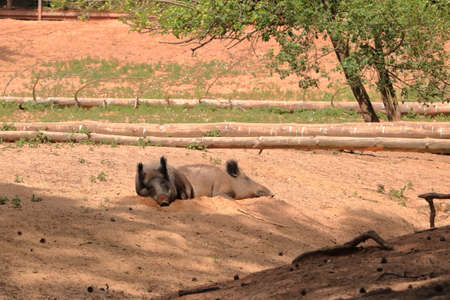 wild boar, sus scrofa, chilling in the wildlife Park Silz / Palatinate in Germany