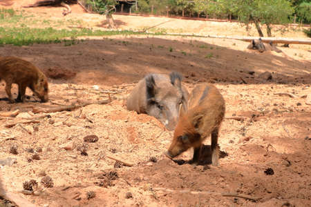 chilled Family of Wild Boar (Sus scrofa) in the wildlife Park Silz / Palatinate in Germany