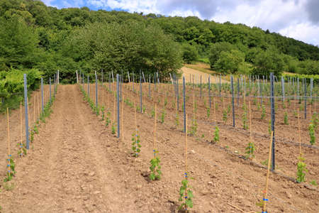 Young plantation of a well-groomed vineyard at the beginning of flowering. Rows of young vineyards on spring day Foto de archivo