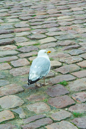 a sea gull striding over cobblestones at a dock