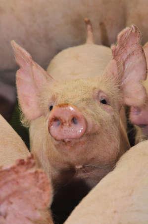 Pigs on a farm Stock Photo - 5042978