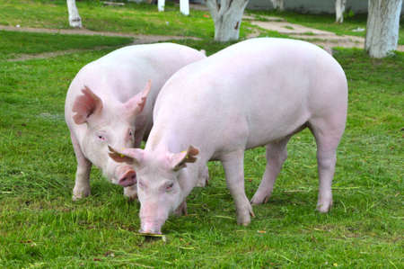 large group of animals: young pigs breeds