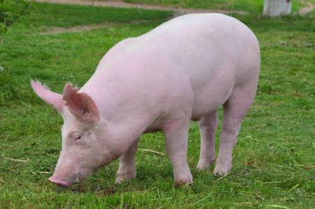 cerdos: razas de cerdos j�venes Foto de archivo