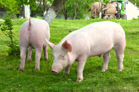 pigpen: young pigs breeds