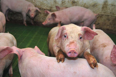 pigpen: Pigs who are photographed on one of farms