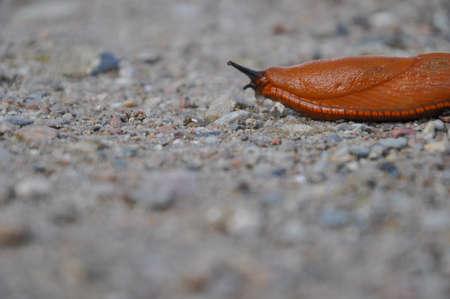 slug: Orange slug Stock Photo