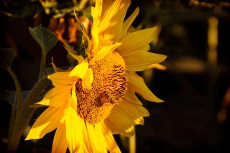 Sunflower on the Sunset Banco de Imagens