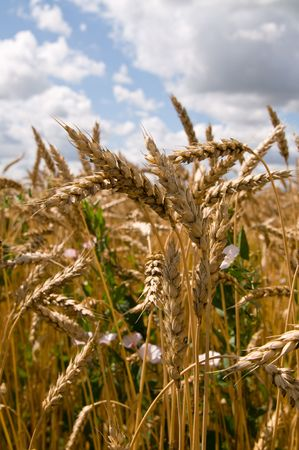crops from russian field Stock Photo - 5931025