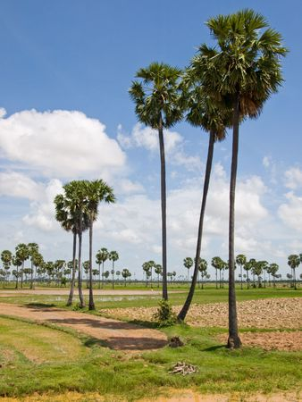 The picture of antient cambodian palms on the way from siem riep to pnom pen Stock Photo - 5931023