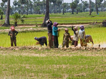 editorial: The picture of the cambodian rice growing (editorial) Stock Photo