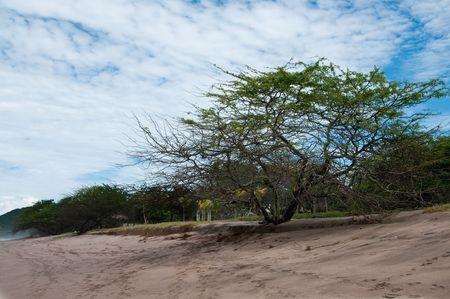 La imagen del árbol Lonely en la playa del Océano Pacífico  Foto de archivo - 7766365