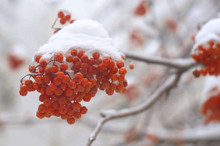 Rowan bunch on tree branch in winter with snow photo