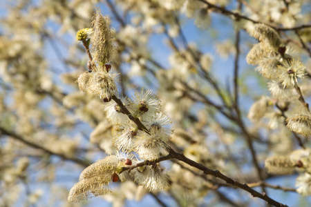 Many fluffy buds on branch in spring photo