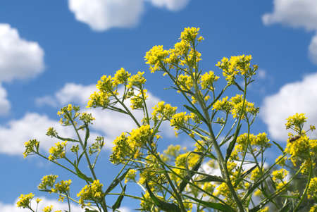Yellow field flowers against blue sky with white clouds in summer day photo