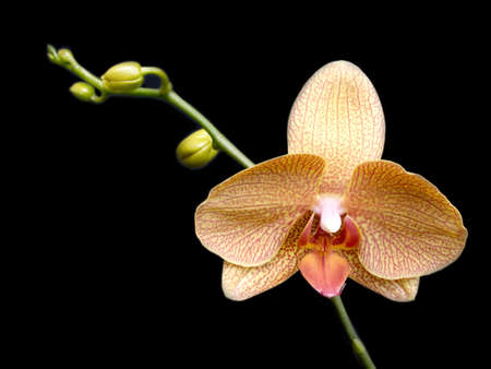 Orchid flower blossom isolated on black background photo