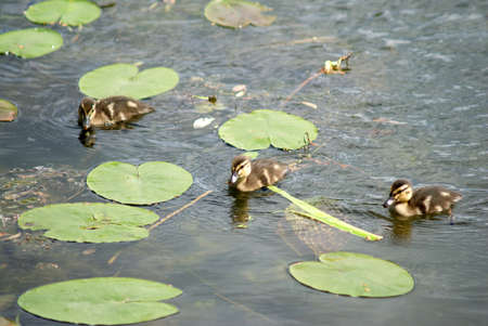 Small ducklings swims in green lily leaves on river water photo