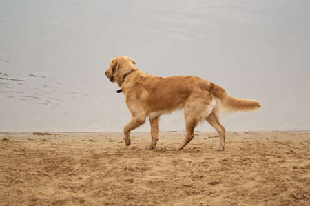 Irish setter and Golden Labrador Retriever mix near water photo