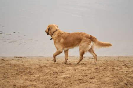 Irish setter and Golden Labrador Retriever mix near water photo
