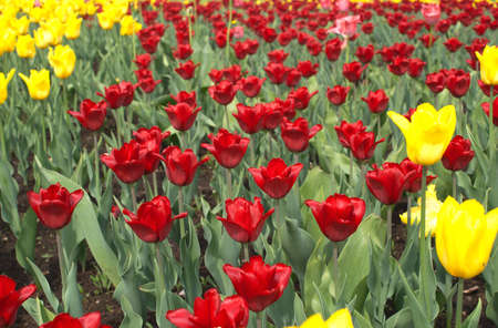 Many red and yellow tulips in garden closeup photo