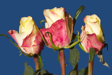 Three beautiful roses isolated on blue closeup photo