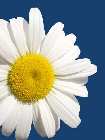Single daisy flower isolated on blue closeup photo