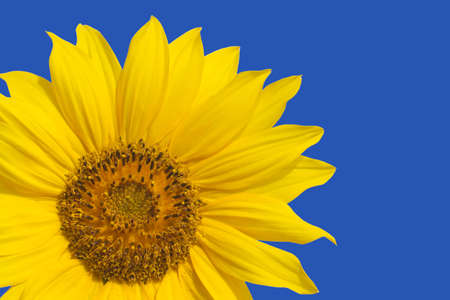 One yellow sunflower isolated ob blue closeup photo