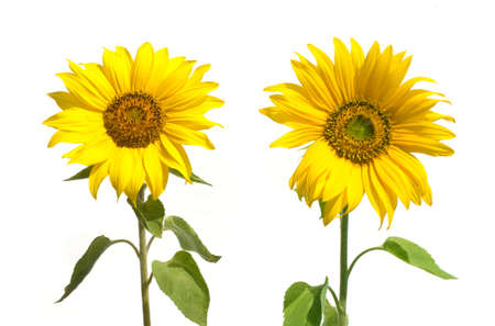 Two yellow sunflowers isolated on white closeup photo