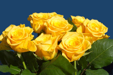 Many beautiful yellow roses isolated on blue closeup photo