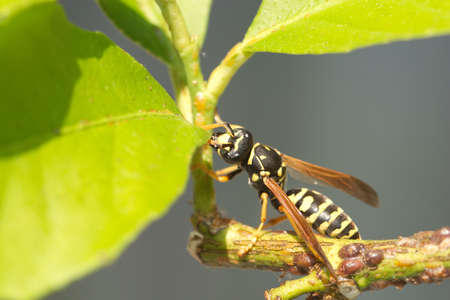 paper wasp: Single paper wasp sits on branch with green leaves close up
