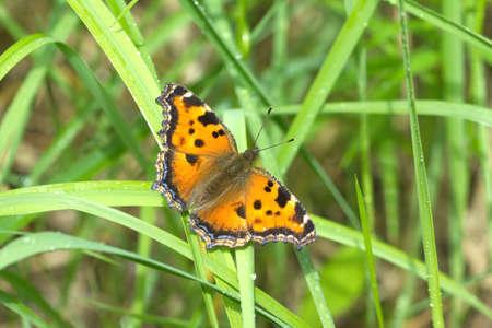 pokrzywka: pokrzywka motyl w zielonej trawie z rosy bliska