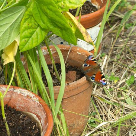 pokrzywka: Pokrzywka Butterfly siedzi na brązowy gliniany garnek z roślin w lecie
