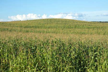 slantwise: Paesaggio estivo con campo di grano verde e collina sotto il bel cielo blu con nuvole Archivio Fotografico