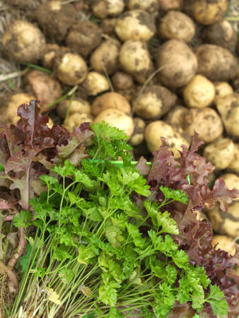 Red salad, green parsley and young potatoes as background close up  photo