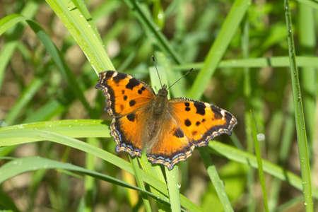 pokrzywka: Motyl pokrzywka siedzi na zielonej trawie z krople rosy bliska Zdjęcie Seryjne