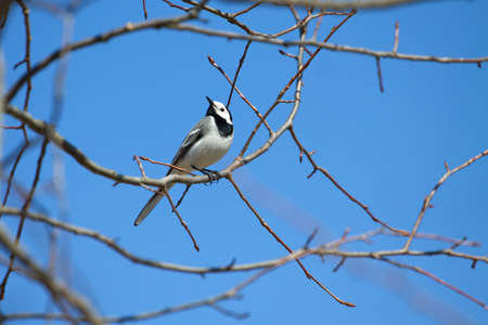 wagtail: White wagtail bird sits on tree branch and sings over cloudless blue sky in spring Stock Photo