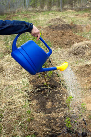 Female hand pours water from blue plastic watering plants in garden area  closeup view photo