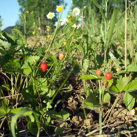 Many ripe strawberry grows in grass with daisy flowers closeup in summer day photo